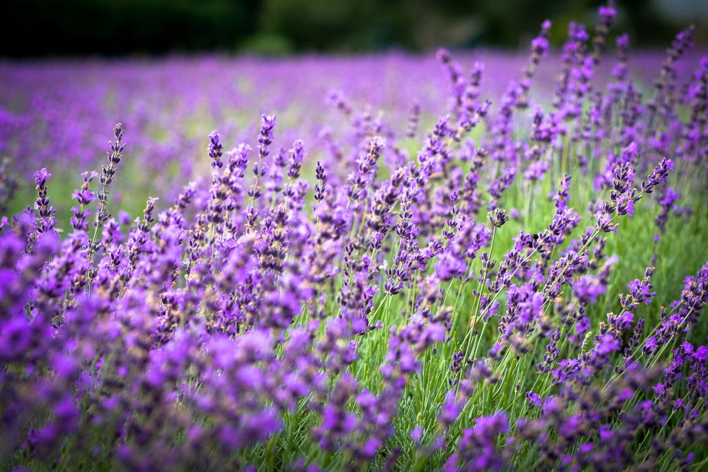Lavender by the Bay - Lavender
